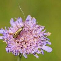 золотой жук :: оксана