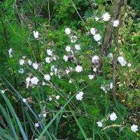 Смолёвка - зорька белая в лесу :: Маргарита Батырева
