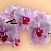 Орхидея. :: Наталья
