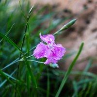 цветок :: Ольга (Кошкотень) Медведева