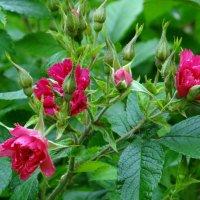 Розы морщинолистные(Гротендорст гвоздикавидные) :: Алексей Цветков