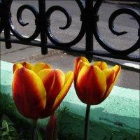 Тюльпаны :: Анна Воробьева