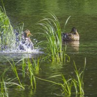 Утки на реке :: Сергей Цветков