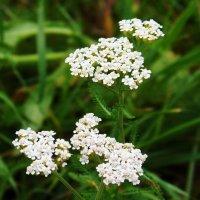 Тысячелистника цветы... :: Любовь К.