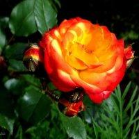 Роза с бутонами. :: Антонина Гугаева