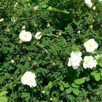 Шиповника белого цветы... :: Наталья Денисова