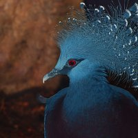 Венценосный голубь :: Олег Чемоданов
