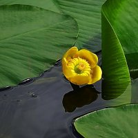 Посреди озера жёлтый фонарик цветёт :: Маргарита Батырева