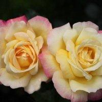 Розы :: Евгения Калугина