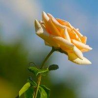 роза :: snd63 Сергей