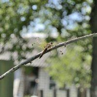 dragonfly :: Бармалей ин юэй