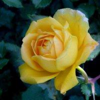 Розы - розы 5 :: Юрий