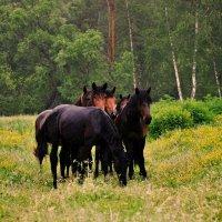таёжные лошадки) :: Юлия Маркелова