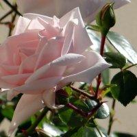 Шпалерная роза. :: Алексей Цветков