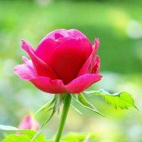 Нежность розы. :: Алексей Цветков