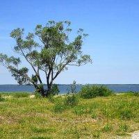 На пустынном берегу залива одинокое дерево растёт :: Маргарита Батырева