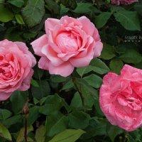 Прежние розы :: Сергей Бочаров