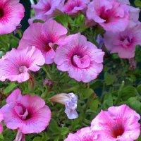 Уличные цветы петунии :: Сергей Карачин