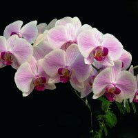 Орхидея 2 :: Sergey Kiselev