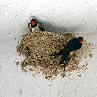 Гнездо ласточек :: Nina Streapan