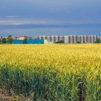 За пшеничным полем.. :: Юрий Стародубцев