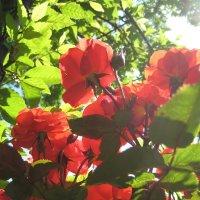 Солнце в розах :: spm62 Baiakhcheva Svetlana