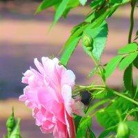 Свет и тени в розовом саду :: spm62 Baiakhcheva Svetlana