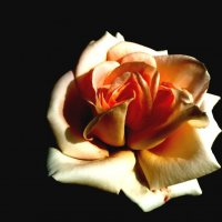 Прекрасная роза :: Юлия Семенченко