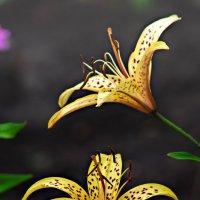 Тигровые лилии :: Владимир Кроливец