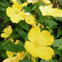 Желтые цветы :: татьяна