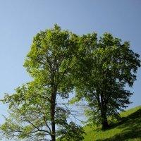 Деревья на холме :: Павел Зюзин