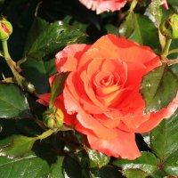 Красная роза раскрыла бутон.... :: Nina Karyuk