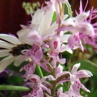 Северная орхидея. :: Елена