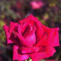 Роза ..... :: Aleks Ben Israel