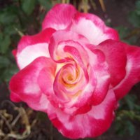 Роза :: Galina