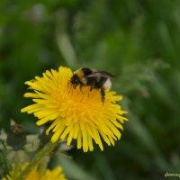 Пчела :: Роман Кудрин