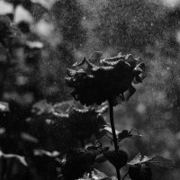 Роза :: Dmitriy Predybailo