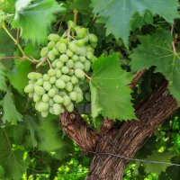 Виноградная гроздь. :: Ирина ...............
