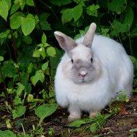 Кролик, гуляющий сам по себе. :: Татьяна Помогалова
