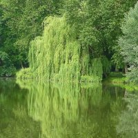 Ивушка плакучая в воде любуется собой :: Маргарита Батырева
