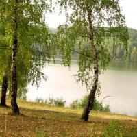 берёзки на фоне воды :: леонид логинов