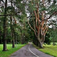 Сосновая аллея в парке Тойла-Ору :: Елена Павлова (Смолова)