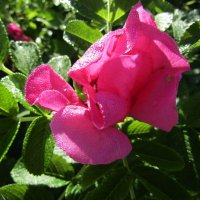Роза ругоза... :: Galaelina