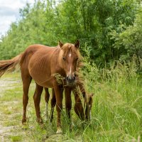 Рыжие лошади :: Андрей Кузнецов