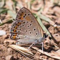 Бабочка голубянка :: Тимофей Черепанов