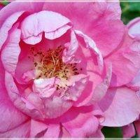 Нежный цветок :: Veselina *