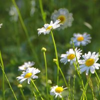 Цветы Валаама :: Tatiana Markova