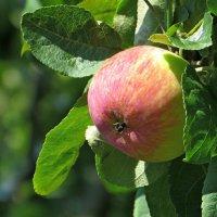 У прохожих на виду висело яблоко в саду... :: Татьяна Смоляниченко