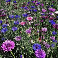 Васильки - голубые, лиловые, розовато - сиренево - белые, с каждым годом по-новому новые :: Елена Павлова (Смолова)