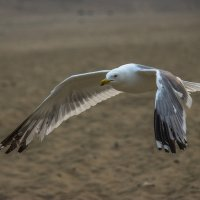 Чайка :: Андрей Петрович